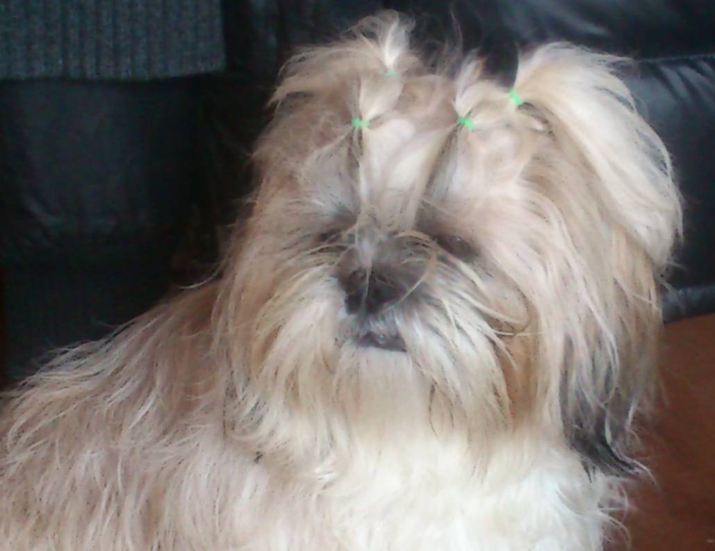Dog of The Day for 4/25/2012 –Higgins & Lola (both 3 mos.) — Shih