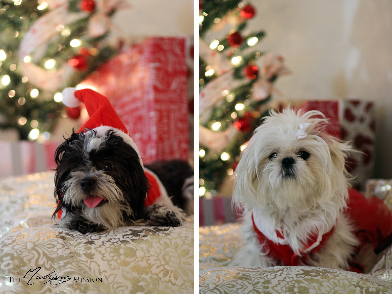 Shih Tzu Photos From Christmas Contest Pang Lee