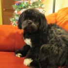 Shih Tzu Photos from Christmas Contest — Debra