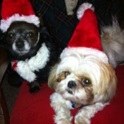 Shih Tzu Photos from Christmas Contest — Joanne