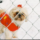 Shih Tzu Photos from Christmas Contest — Amy Gentry