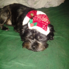 Shih Tzu Photos from Christmas Contest — Sarah comerico