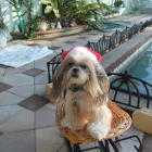 Shih Tzu Photos from Christmas Contest — Wendy