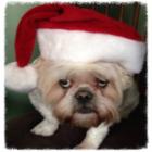 Shih Tzu Photos from Christmas Contest — Carol