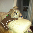 Shih Tzu Photos from Christmas Contest — From Wendy
