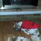 Shih Tzu by the fireplace