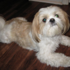 Dog of The Day for 4/15/2013 — Toby — Shih Tzu