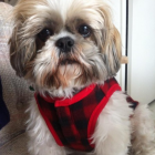 Shih Tzu Photos from Christmas Contest — from Lucy Vu