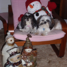 Shih Tzu Photos from Christmas Contest — Shellie Smith