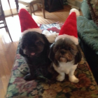 Shih Tzu Boys from: Cindy Osley Thomas