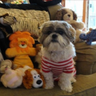 Shih Tzu Photos from Christmas Contest — Darlene Soja-Magnacca