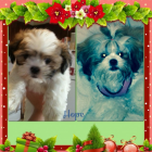 Shih Tzu Photos from Christmas Contest — Anna