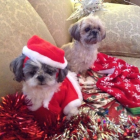 Shih Tzu Photos from Christmas Contest —  Janet