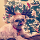 Shih Tzu Photos from Christmas Contest —