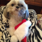 Shih Tzu Photos from Christmas Contest —  Rosie