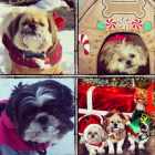 Shih Tzu Photos from Christmas Contest —  Gina millwood
