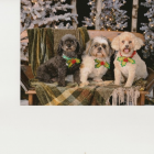 Shih Tzu Photos from Christmas Contest —  CINDY HUSSEY