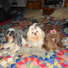 Dog of The Day for 3/30/2013 —  3 Precious Shih Tzu Babies