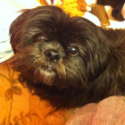 Shih Tzu Photos from Christmas Contest — Lucy Vu