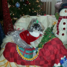 Shih Tzu Photos from Christmas Contest — Nancie Skrocki