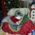 Shih Tzu Photos from Christmas Contest — Nancie Skrocki
