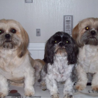 3 Happy Shih Tzu!