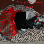 Shih Tzu Photos from Christmas Contest —  kim