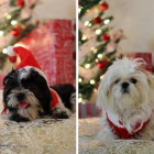 Shih Tzu Photos from Christmas Contest — from: Mahjong Lee