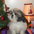 Shih Tzu Photos from Christmas Contest —  Lea Dill