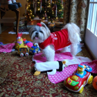 Shih Tzu Photos from Christmas Contest —  Sharon Hawkins