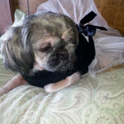 Shih Tzu Photos from Christmas Contest —  Mary Rausch