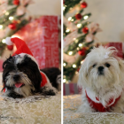 Shih Tzu Photos from Christmas Contest — Pang Lee