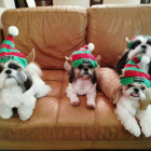 Shih Tzu Photos from Christmas Contest —  Marlene