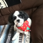 Shih Tzu Photos from Christmas Contest — Sara weichenthal