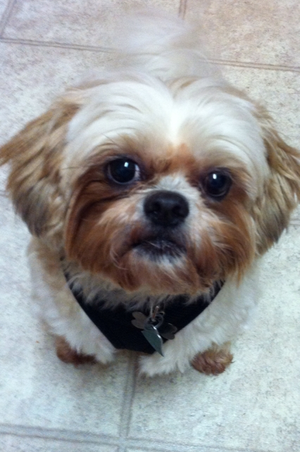 Dog of the Day for 3/1/2012 — Dudley — Rescue from Shih Tzu and